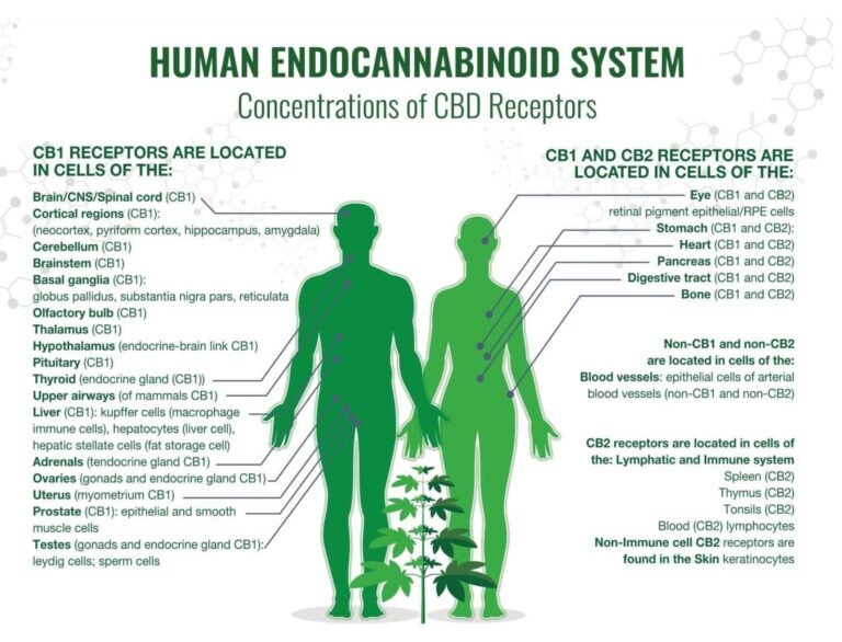 The Endocannabinoid System's Most Important Function
